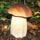 лесные белые грибы