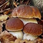 белые грибы свежие в москве
