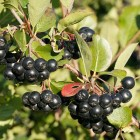стоимость черноплодной рябины