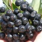 заказать черноплодную рябину