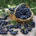 продажа черноплодной рябины