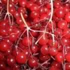калина лесная ягода