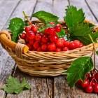 ягода калина из леса