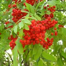 Красная рябина свежая