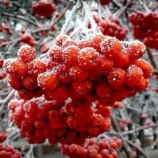 Красная рябина замороженная
