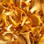 грибы лисички купить