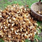 свежие грибы сморчки в Москве