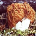 где купить свежие грибы сморчки